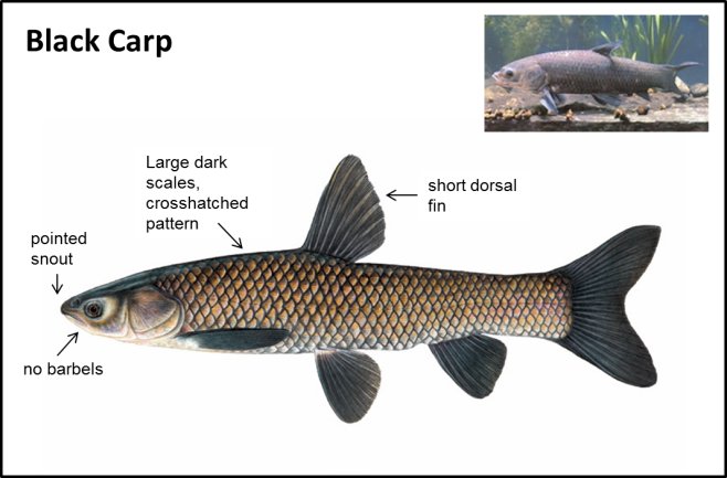 Black Carp - Asian Carps | Ontario's Invading Species Awareness Program