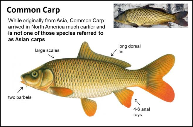 Common Carp - Asian Carps | Ontario's Invading Species Awareness Program