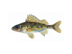 Eurasian Ruffe | Ontario's Invading Species Awareness Program