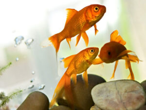 Goldfish | Ontario's Invading Species Awareness Program