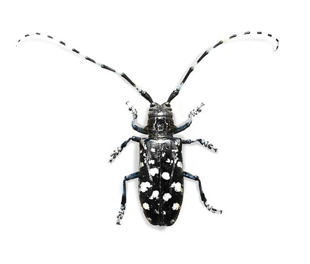 Asian Long-horned Beetle | U.S. Department of Agriculture