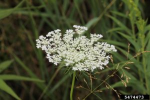 Queen Anne's Lace - Rob Routledge, Sault College, Bugwood.org
