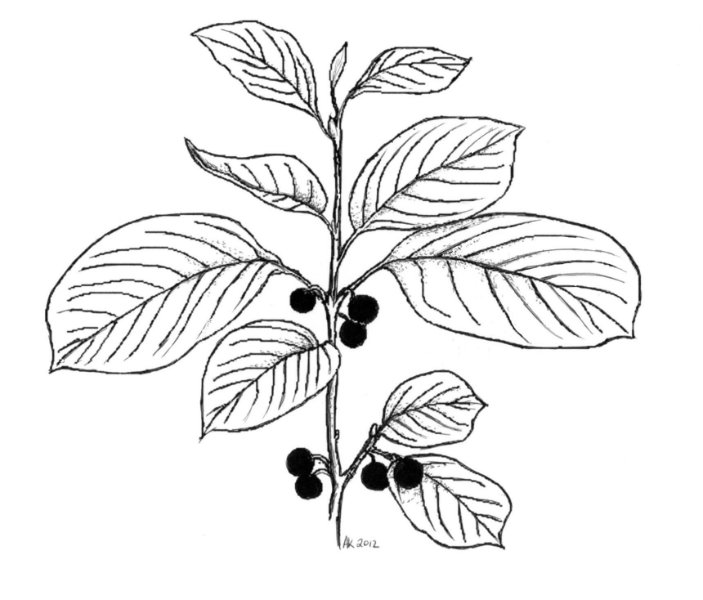 Glossy Buckthorn Illustration by Andrea Kingsley