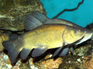 Tench | Ontario's Invading Species Awareness Program