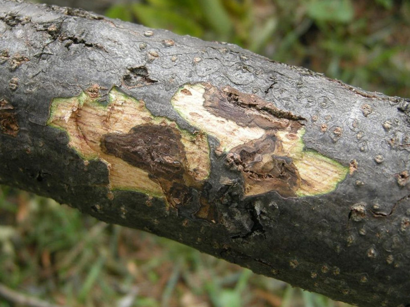 Thousand Cankers Disease