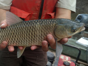 Asian Carps | Ontario's Invading Species Awareness Program