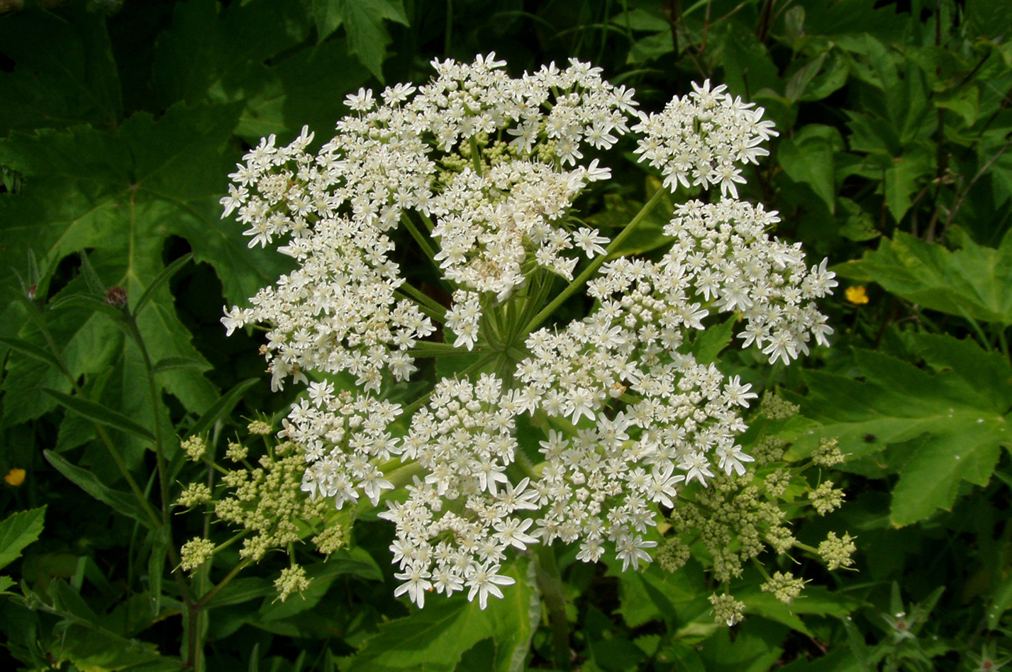 Cow Parsnip - Photo by Danielle Langlois